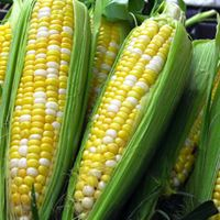 Greater Gatineau Corn Roast
