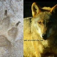 2 Amaneceres observando lobos en libertad y sus rastros