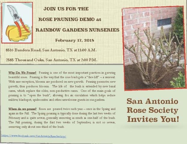 Rose Pruning Demo At Rainbow Gardens Nurseries. Rosarians From The San  Antonio ...
