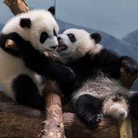 Ya Lun and Xi Lun are turning 1