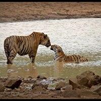 Valentines day Special - Tadoba Andhari Tiger Reserve