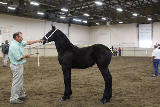 Alberta Percheron Club All Breeds Foal Show