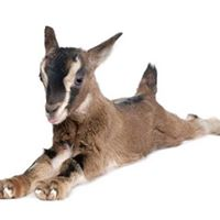 SOLD OUT - Pachamama Goat Yoga