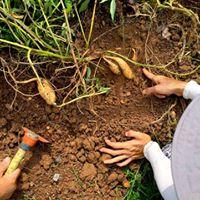 Harvesting Season is here at Kampung Kampus