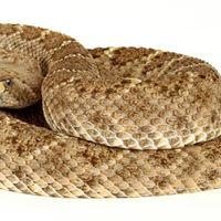 Rattlesnake Dog Training Tucson
