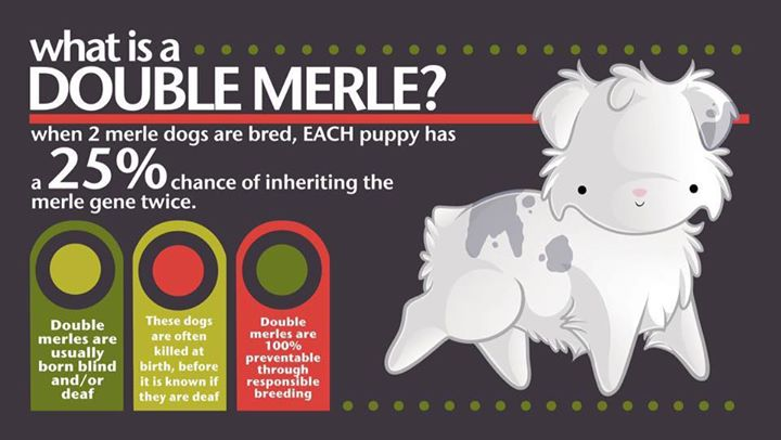 Double merle awareness day at nillas tub do it yourself dog wash double merle awareness day solutioingenieria Images