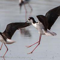 Wintu Audubon Outing to Sacramento National Wildlife Refuge