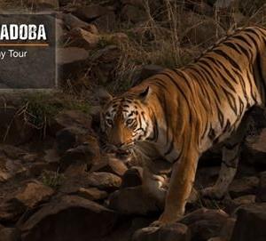 Tigers of Tadoba-Wildlife Photography Tour