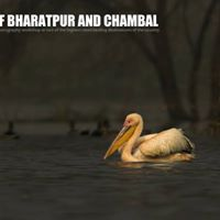 Birds of Bharatpur and Chambal - February 2018