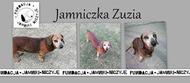 Jamniczka Zuzia szuka domu