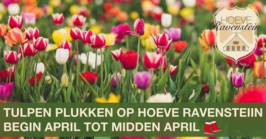 Tulpen plukken op Hoeve Ravenstein