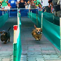 Dachshund Wiener Dog Race