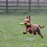 Pet Gundog Beginner