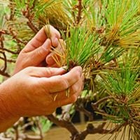 Ueki Pruning of the Black Pines and Maples