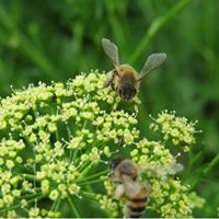 DCMG Monthly Meeting March 2018 (Bees)