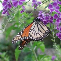 Establish a Monarch Garden