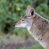 Speak Up for Coyotes at Laguna Beach City Council Meeting