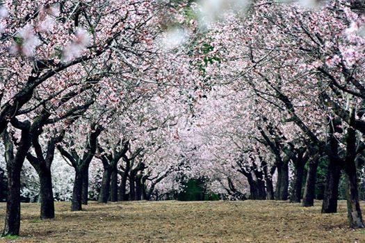 Paseo matutino para ver los almendros en flor