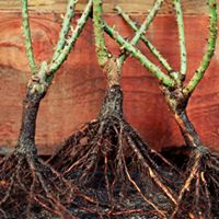 Planting Bare Root Roses and Fruit Trees - Stockton