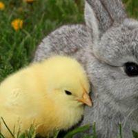 LIVE Bunny &amp Chick Meet &amp Greet