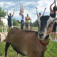 Goat Yoga at Mountain Flower Goat Dairy - 2 new classes