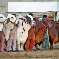 Cow Mandi Karachi - Grand Opening Ceremony - 2017