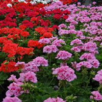 Whats Happening in Gardening Series - Propagating Pelargoniums
