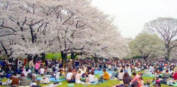 Hanami Party at Yoyogi Park )