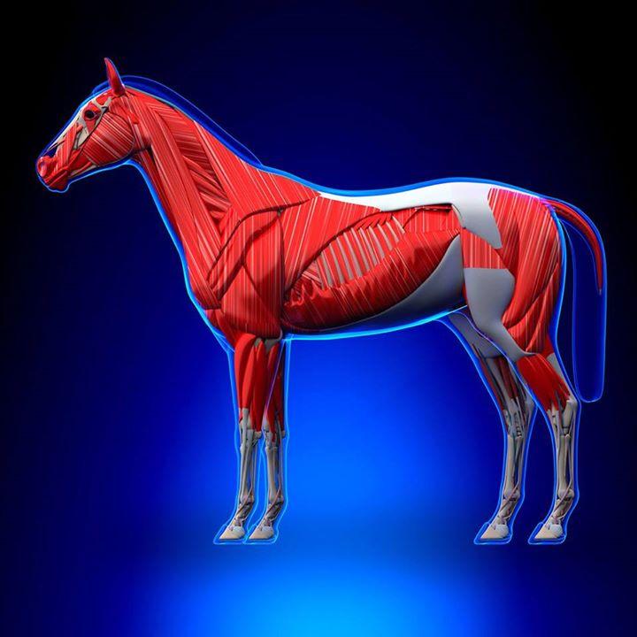 Faszientherapie und viszerale Osteopathie Pferd at Seminare4THP ...
