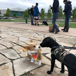 Corgis and Labs Take Over Denver 2018 pt2