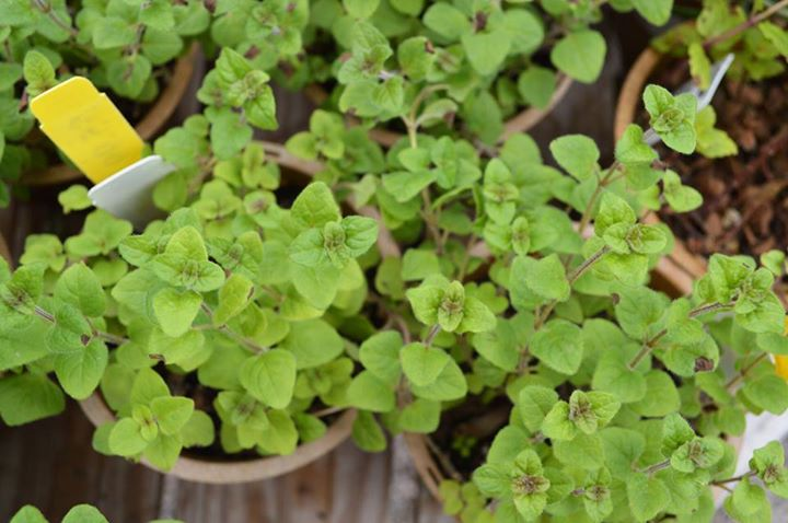 Herb Container Garden Class