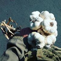 Garlic to be used for food magic and vampires