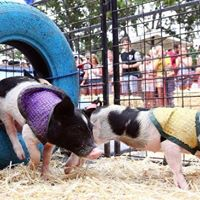 CHICC Christmas Function - Pig Racing
