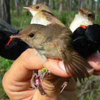 Phenotypic Variation in Breeding Songbirds