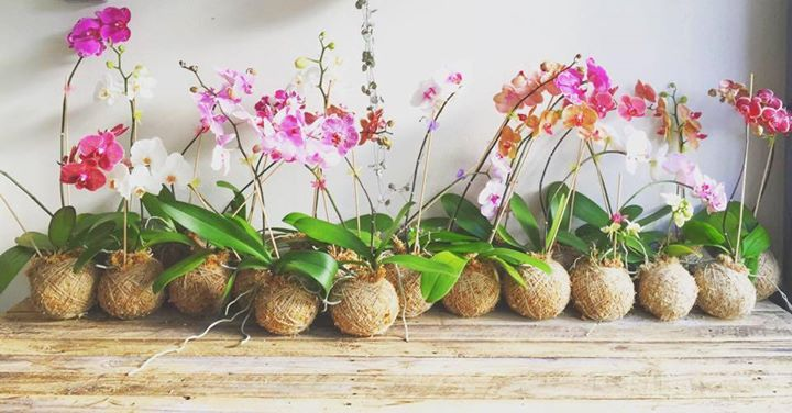 Orchid kokedama workshop at porters mackay for Orchidea acqua