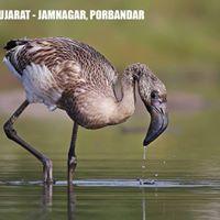 Birds of Gujarat - Jamnagar and Porbandar November 2017