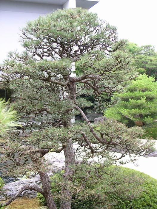 Japanese Garden Pruning: Pine Trees At Shofuso Japanese
