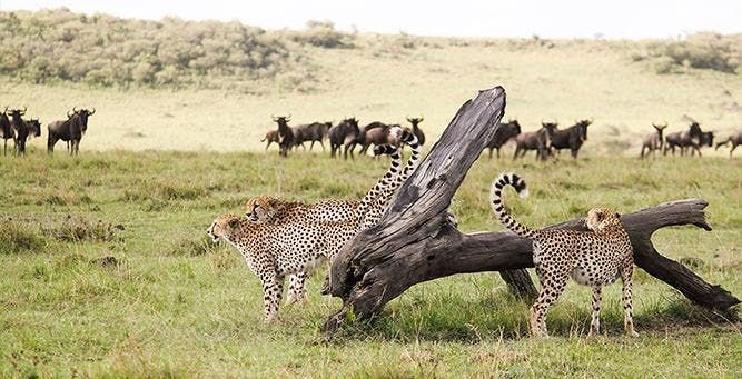 Tanzania wildebeest migration safari 3 days with Maasai village visit