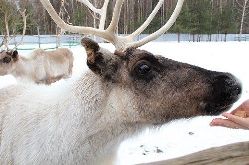 Reindeer Farm Group Tour (21 January)