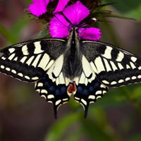 Swallowtail Watch