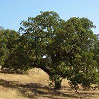 Ojai Trees Spring Planting