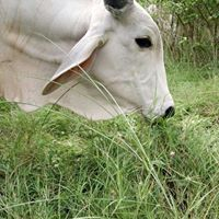 Holistic Farming A Commonsense Approach To Land And Cow Care.