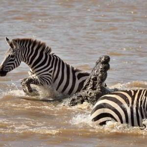 The Great Migration - Masai Mara