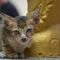 Cats and dogs of Cambodia presentation