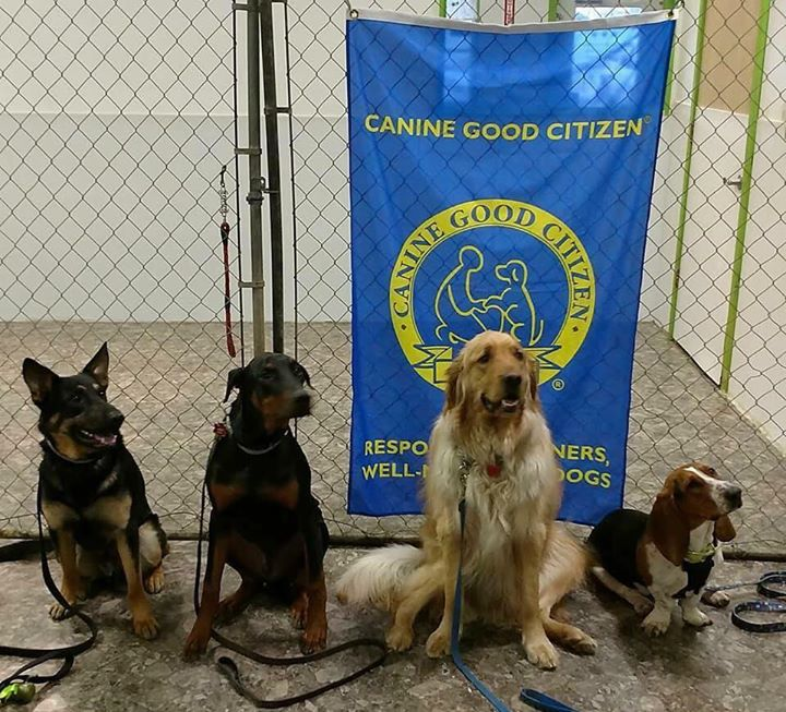 Star Puppy And Basic Training With Akc Cgc Certification At Awesome