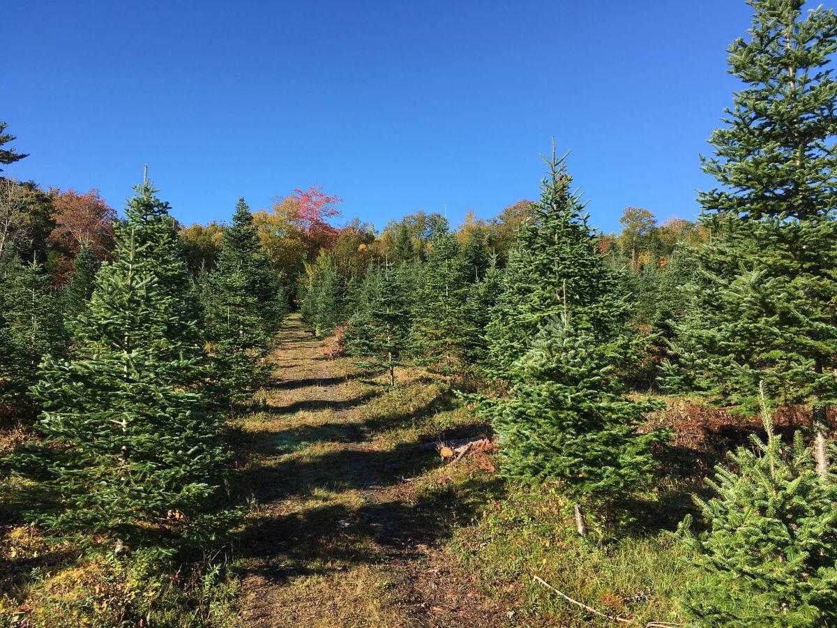 u cut christmas trees at 2nd beaver bank scouting beaver bank