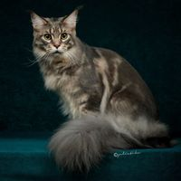 Coon Elixir Maine Coon Cattery
