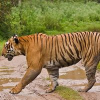 2N3D Bandipur Tiger Reserve for 8160person