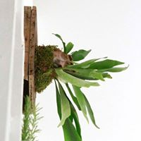 Art of Mounting Staghorn Ferns with Urban Terrain