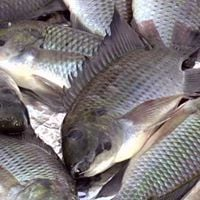 Fish Farming Training in Chiredzi and Harare